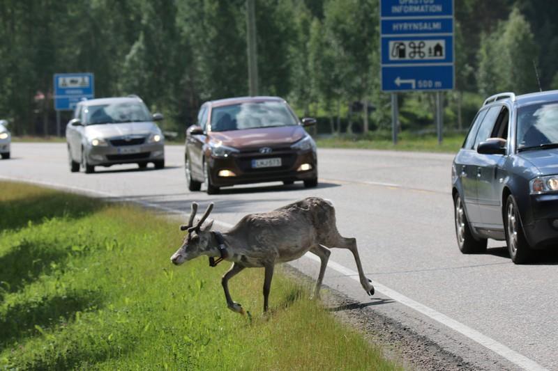 Die Geweihe der Rentiere aus dem Lappland werden angesprüht, um Autounfälle zu verringern.