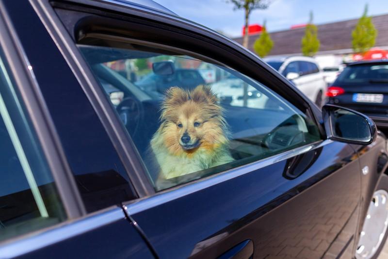 Ein Hund, der im Auto bei Hitze zurückgelassen wurde