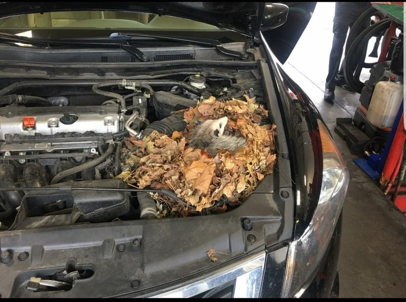 Ein Tier hat sich unter eine Motorhaube eingenistet